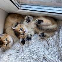Шотландские котята/Scottish kitten, в г.Берлин