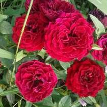 Продаю корни роз, в г.Бишкек