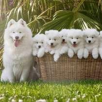 Щенки самоедской собаки!, в Новосибирске