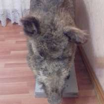 Продам чучело дикого кабана, в Орехово-Зуево