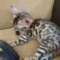 Бенгальские котята, в г.Заславль