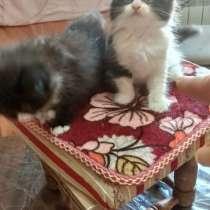Персидские котята, в Краснодаре