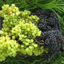 Продаются саженцы винограда, в Омске