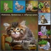 Сибирские котята из питомника, в Томске