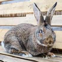 Кролики для разведения, в Самаре