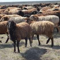 Племенные овцы породы Эдильбаевская (из Европы класса Элита), в г.Ереван
