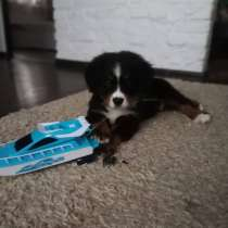 Bernese Mountain Dog, в г.Гомель