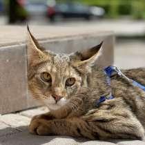 Котёнок Чаузи Ф1, в г.Черновцы