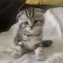 Шотландские котята, в г.Ришон-ле-Цион