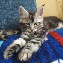 Котята мейн-кун, в г.Орша