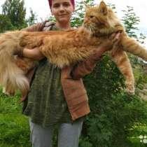 Продам кота мейн-кун в разведение, в Чите