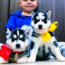Черно-белые щеночки хаски, в Астрахани