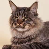 Котенок Мейн-кун, в Балаково