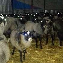 Романовские овцы, в Уфе