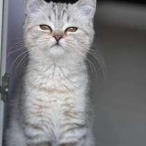 Шотландцы котята девочка, в Иркутске