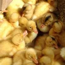 Цыплята, гусята, утята, в Новосибирске