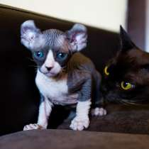 Шикарный котик эльф, в г.Майами-Бич