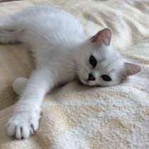 Британский клубный котенок мальчик Цедрик, в Москве