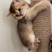Британские короткошёрстный котята, в г.Санкт-Вендель