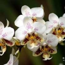Орхидея stuartiana x sib миленькие детки сеянцы, в Калининграде