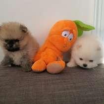 Mini pomeranian, sweet puppy's, vet. passport, pedigree, в г.Пафос