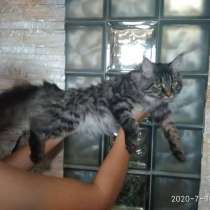 Котята мейн-кун, в г.Минск
