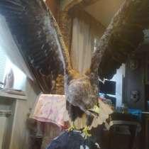 Продаю чучело орла, в Омске