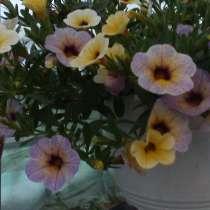 Черенок петунии вегетативной и калибрахоа, в Гулькевичах