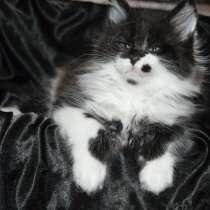 Питомник придлагает котят Мейн-кун, в г.Полтава