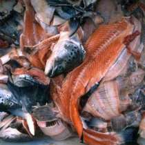 Покупаем рыбные отходы 40 тонн в сутки, в Казани