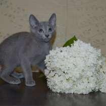 Чистокровные котята Русской голубой, в Иванове