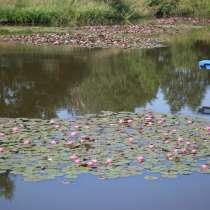 Лилии водные, розовые и белые, продаю, в Дзержинске