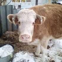 Продам корову на мясо около 300 кг или обмен на молочную кор, в Челябинске
