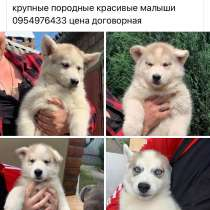 Недорого щенки хаски, в г.Краматорск
