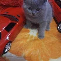 Продаются шотландские котята, в г.Мариуполь
