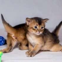 Сомалийские котята, в Краснодаре