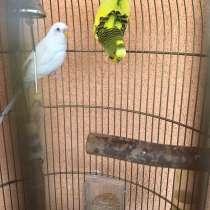 Волнистые попугаи, в Санкт-Петербурге