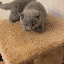 Британские котята продаю, в Улан-Удэ