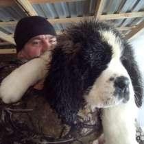 Продам щенков сенбернара, в Томске