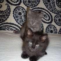 Коты 1.5мес. от пушистой мамы, в Мичуринске