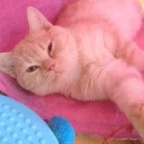 Шотландский подрощенный котенок, в Иванове
