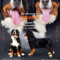 Предлагаются к резервированию щенки Бернского Зенненхунда, в Балашихе