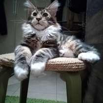 Котята Мейн-кун, в Новосибирске