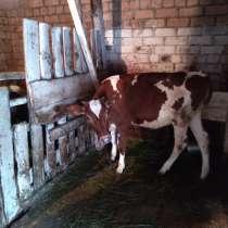 Продам телку 5 месяцев, в Пскове