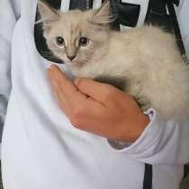 Сиамские котята даром, в Вышний Волочек