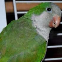 Продается попугай монах, уже говорит, поет песенки, 460 р, в г.Мозырь
