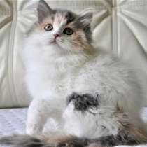 Шотландские котята из питомника с документами, в Нижнем Новгороде