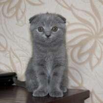 Британские вислоухие и прямоухие котята, в г.Доброполье