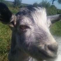 Продам козлят зааненской породы, в Россоши
