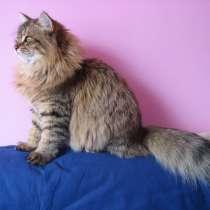 Сибирские котята, в Краснодаре